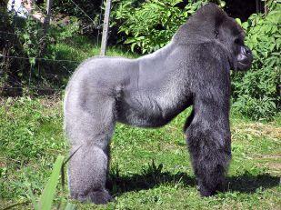 1920px-Bristol.zoo.western.lowland.gorilla.arp
