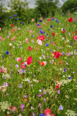 Wild flower meadow @ Eden Project by FamilyRalph