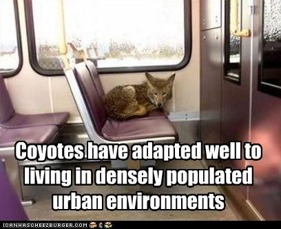funny-pictures-coyotes-have-adapted